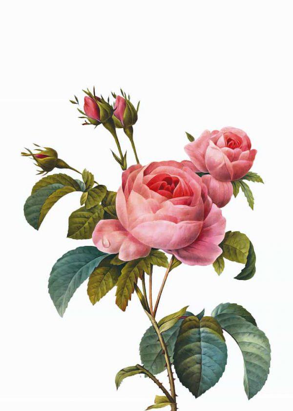 Ilustración Rosas Realistas